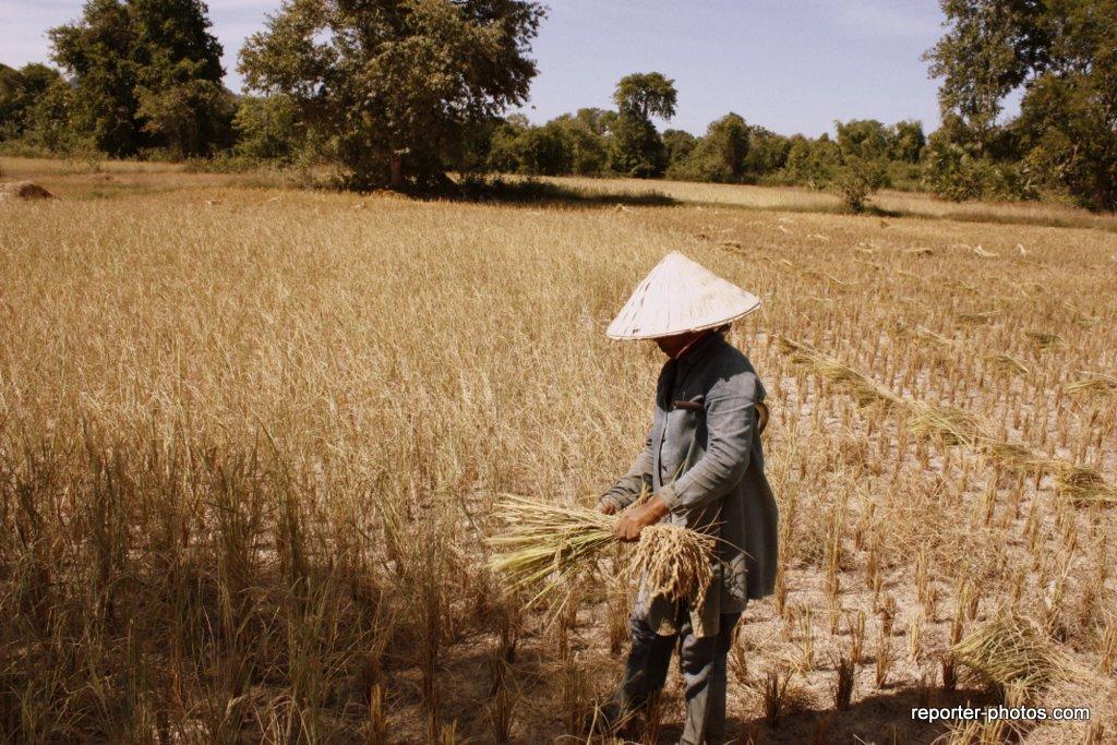 Travail dans les rizières Don Khone